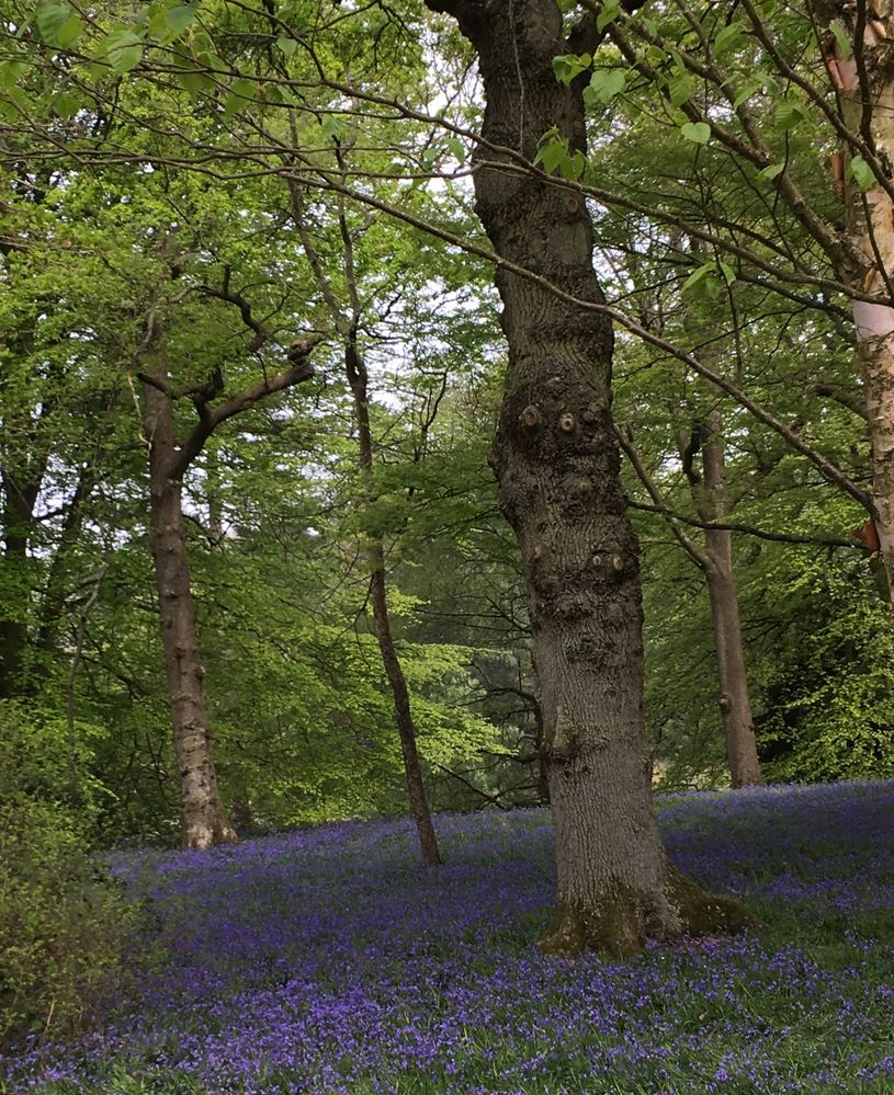 I love bluebell woods