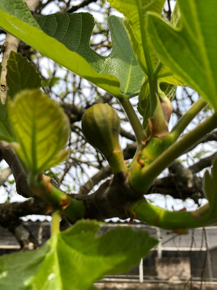 Fig tree near house has really started to get going now.