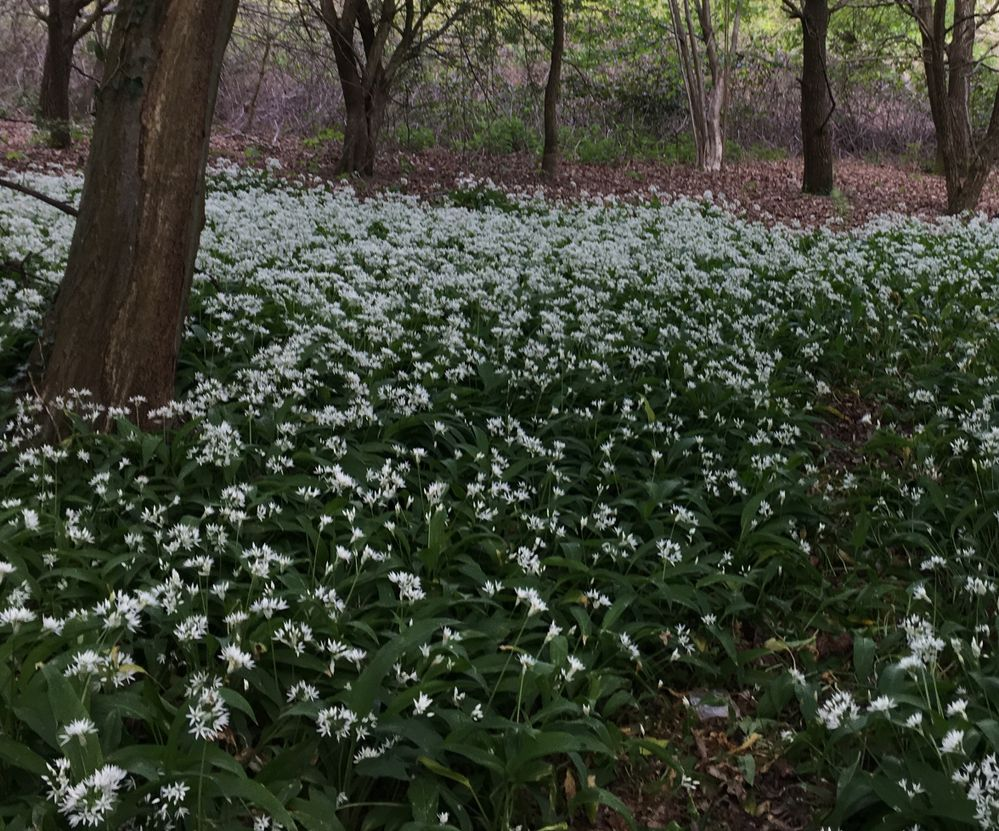 Drifts of wild garlic today