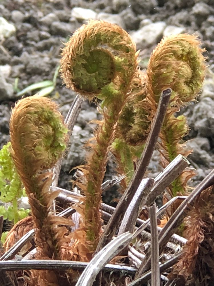 I love ferns.Its always exciting to see what they're becoming as they unfurl. A metaphor for us maybe...
