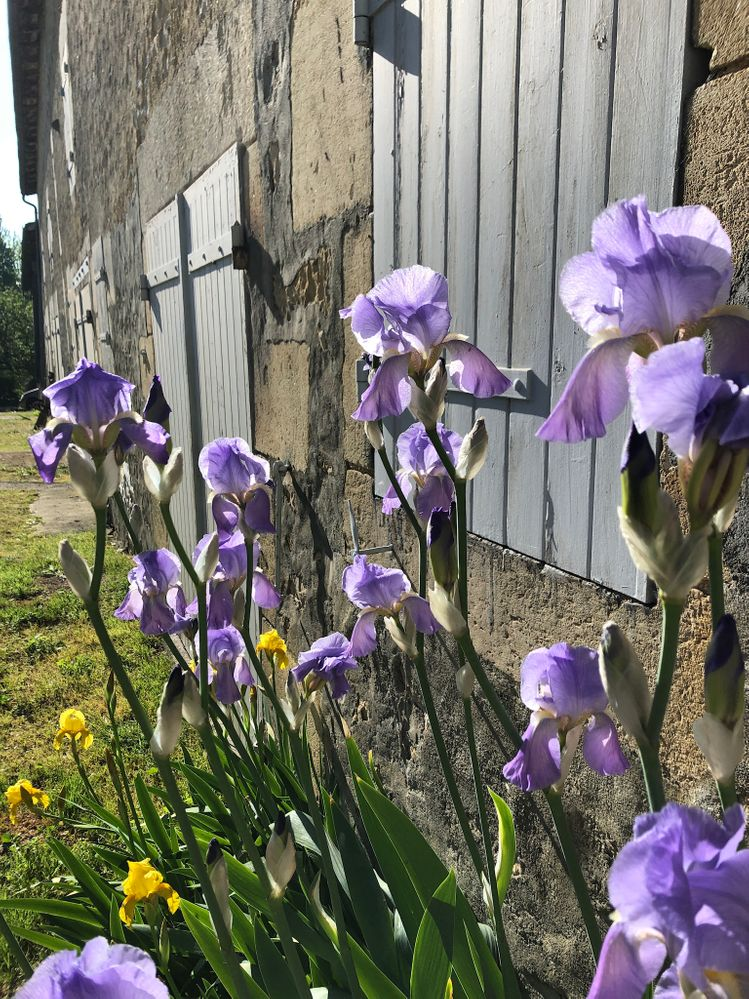 Irises. Think I'll always associate them with France now.