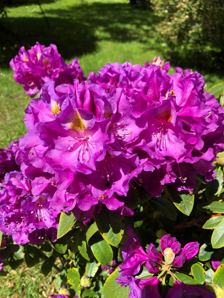 Rhododendron. Not overly fond of the colour. Don't know the variety, I just call it Ethel Merman. She's the lady who sang ' I am what I am , I am my own special creation.'