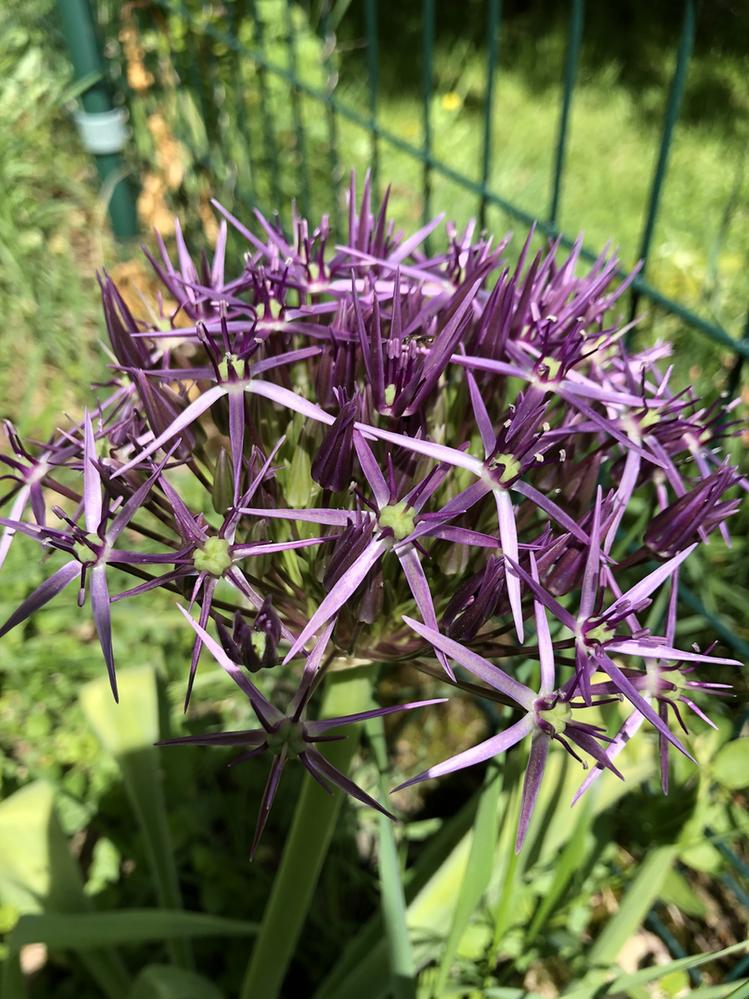 Allium just beginning to bloom.