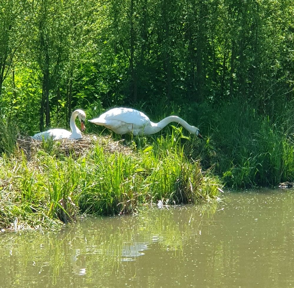 And more nesting swans, like yesterday