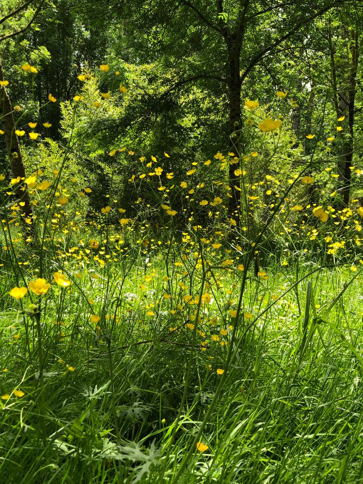 Buttercups. The dragonflies are loving being amongst them.