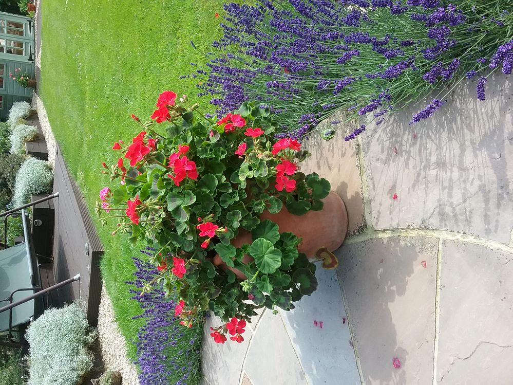 Geraniums and lavender
