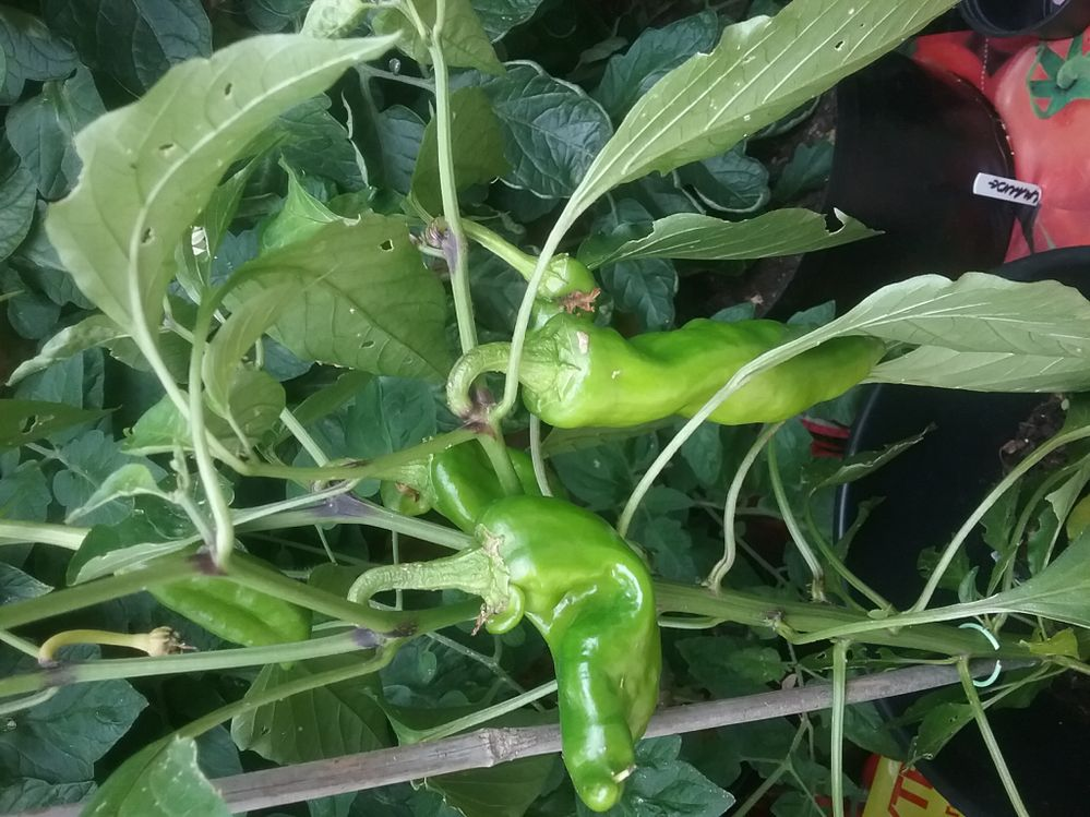 Peppers long not bell