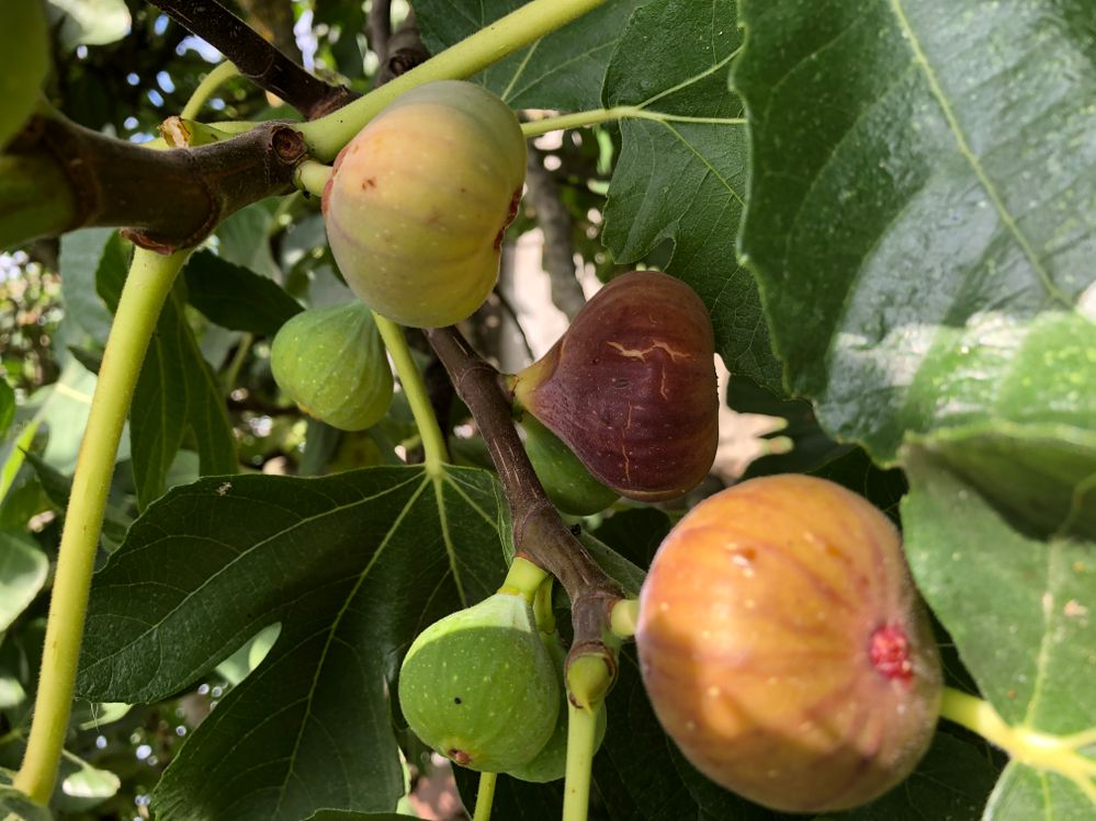 Figs coming through. We've had such extremes of weather that this year they seem to be ripening really quickly and the falling off the tresses